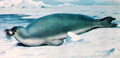 Морской заяц, лахтак (Erignathus barbatus), рисунок картинка тюлени