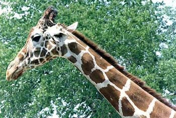жираф (Giraffa camelopardalis), фото, фотография