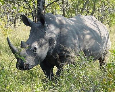 Белый носорог (Ceratotherium simum), фото фотография, непарнокопытные