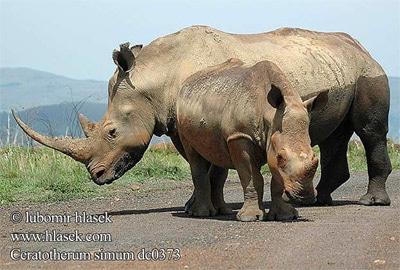 Белые носороги (Ceratotherium simum), фото фотография, непарнокопытные