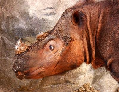 Суматранский носорог (Dicerorhinus sumatrensis), фото фотография, непарнокопытные