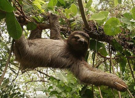 Бурогорлый ленивец (Bradypus variegatus), фото фотография, неполнозубые животные