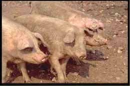 домашняя свинья, свинья домашняя, фото, фотография