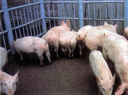 домашние свиньи, свиньи, фото, фотография