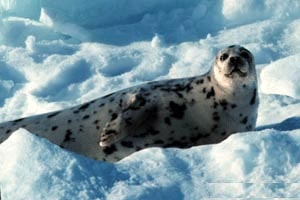 тюлень хохлач, хохлач, фото, фотография