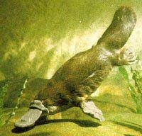 утконос (Ornithorhynchus anatinus), фото, фотография