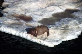 атлантический морж (Odobaenus rosmarus), фото, фотография, морж атлантический