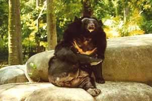 белогрудый медведь, уссурийский медведь (Ursus thibetanus), гималайский медведь, медведь уссурийский, фото, фотография
