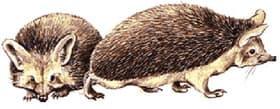 ушастый еж, еж ушастый (Hemiechinus auritus), фото, фотография