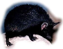 длинноиглый еж, еж Брандта, еж длинноиглый (Hemiechinus hypomelas), фото, фотография
