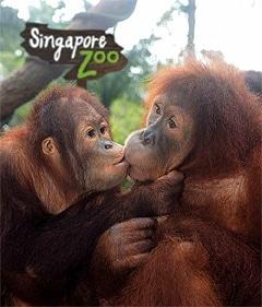 Сингапурский зоопарк, орангутаны фото фотография