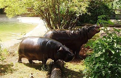 Лондонский зоопарк, бегемоты фото фотография