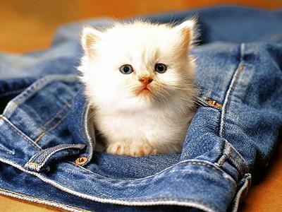 Котенок в джинсах. Фото фотография, Аксессуары для домашних животных