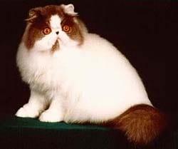 Persian cat :: Cat breeds, care breeding, cat's psychology, cat at a