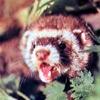 лесной хорек, фретки хорьки - содержание, болезни, кормление и уход