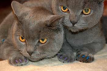 мягкие коготки для Вашей кошкиОдин из немногих минусов проживания кошки в доме - то, что она может рвать и царапать...