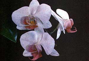 орхидея, фаленопсис гибридный, фото, фотография