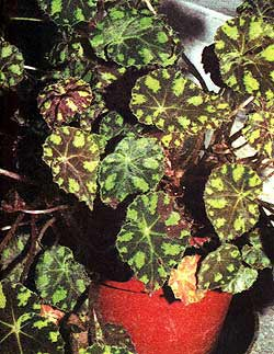 бегония Бауэра, (Begonia bowerii), фото, фотография