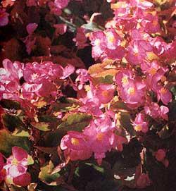 бегония борщевиколистная, борщевиколистная бегония (Begonia heracleifolia), фото, фотография