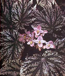 бегония диадема (Begonia diadema), фото, фотография