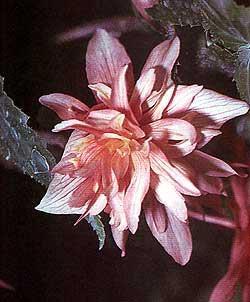 бегония клубневая гибридная, гибридная клубневая бегония (Begonia x tuberhybrida), фото, фотография