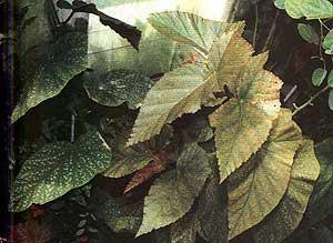 Бегония коралловая, коралловая бегония (Begonia coralline ...: http://www.zooclub.ru/flora/plane/begon/6.shtml