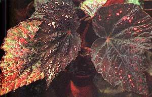 бегония королевская, королевская бегония (Веgonia rex), фото, фотография
