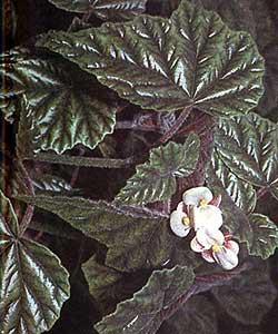 бегония металлическая, металлическая бегония (Begonia metallica), фото, фотография