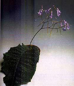 фиалка, стрептокарпус вендлэнда, Streptocarpus wendlandii, фото, фотография
