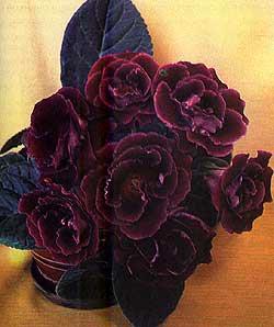 фиалка, синнингия прекрасная, прекрасная синнингия (Sinningia speciosa), фото, фотография