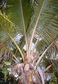 кокос, Cocas nucifera, кокосовая пальма, фото, фотография