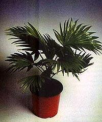 ливинстона южная, южная ливинстона (Livistona australis), пальма, фото, фотография