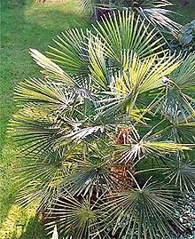 трахикарпус (Trachycarpus), пальма, фото, фотография