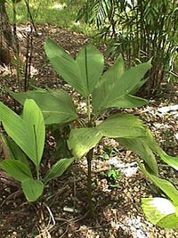 хамедорея (Chamaedorea), пальма, фото, фотография