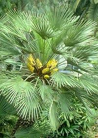 хамеропс приземистый, приземистый хамеропс (Chamaerops humilis), пальма, фото, фотография