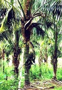 ховея (Howea), пальма, фото, фотография