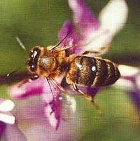 пчела, фото, фотография
