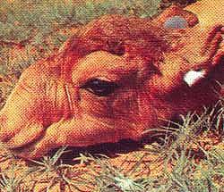 сайгак (Saiga tatarica), фото, фотография