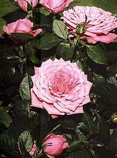 розы, roses, розовые розы, фото, фотография