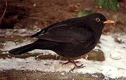 черный дрозд, дрозд черный (Turdus merula), фото, фотография