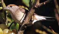 славка-черноголовка (Sylvia atricapilla), фото, фотография