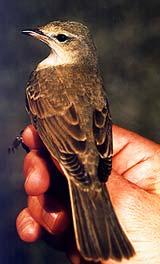 ястребиная славка, славка ястребиная (Sylvia nisoria), фото, фотография