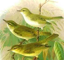 пеночка-весничка, весничка-пеночка (Phylloscopus trochilus), фото, фотография