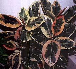 фикус каучуконосный, каучуконосный фикус, фикус упругий (Ficus elastica), фото, фотография
