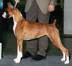 Немецкий боксер, фото фотография собаки