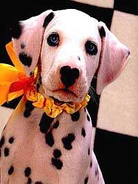 щенок далматинца, фото, фотография, щенок далматина