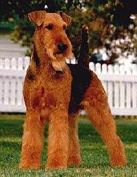 Эрдельтерьер, фото, фотография, породы собак собаки
