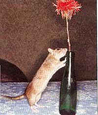 крыса, фото, фотография