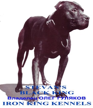 американский питбультерьер Stevan's Black King, питбуль, фото, фотография
