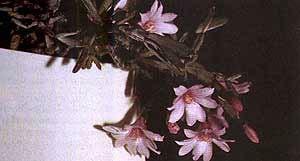 рипсалидопсис розеа, кактус декабрист, фото, фотография
